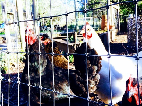 mhs chickens