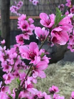 Peach blossom garden blooms