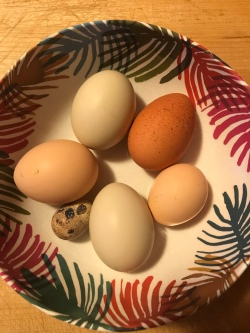 5 chicken eggs and a Coturnix domestic quail egg